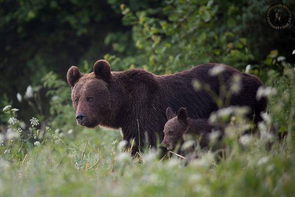 Samica niedźwiedzia brunatnego (Ursus arctos) z młodym Bieszczady ©Mateusz Matysiak