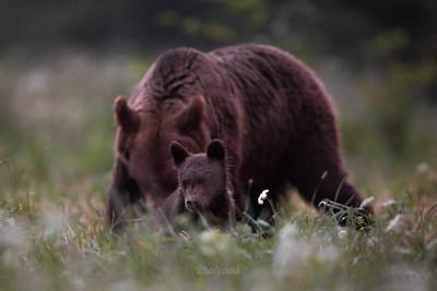 Niedźwiedź brunatny (Ursus arctos) ©Mateusz Matysiak