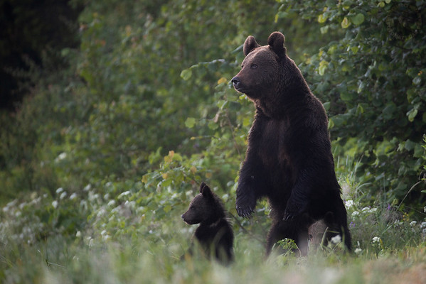 Zaintrygowana samica niedźwiedzia brunatnego (Ursus arctos) na straży półrocznych niedźwiadków Bieszczady ©Mateusz Matysiak
