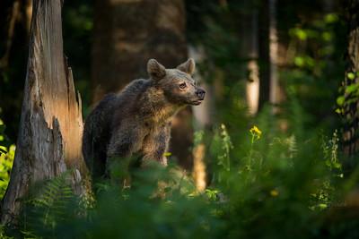 Drugoroczna niedźwiedzica (Ursus arctos) Bieszczady ©Mateusz Matysiak