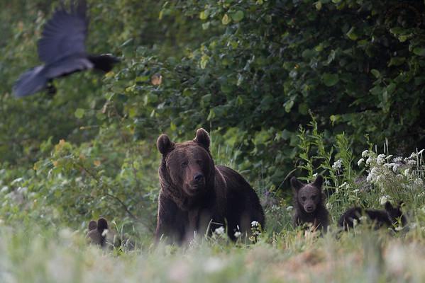 Samica niedźwiedzia brunatnego (Ursus arctos) z trójką półrocznych niedźwiadków Bieszczady ©Mateusz Matysiak