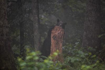 Niedźwiedź brunatny (Ursus arctos) Bieszczady ©Mateusz Lech Matysiak Jr