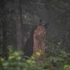 Niedźwiedź brunatny (Ursus arctos)<br /> Bieszczady<br /> ©Mateusz Lech Matysiak Jr