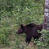 Niedźwiedź i brzoza