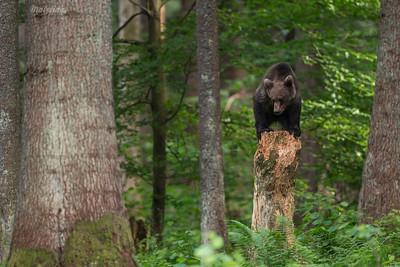 Gdzieś w Bieszczadach, w środku lasu, pomnik Misia stanął...