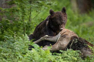 Niedźwiedź brunatny (Ursus arctos) zagrabiający martwą łanię Bieszczady ©Mateusz Matysiak