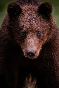 Młody, drugoroczny niedźwiedź brunatny (Ursus arctos) Bieszczady ©Mateusz Matysiak