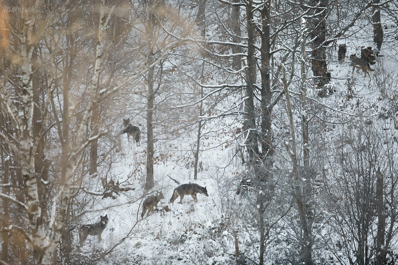 Wilczy las