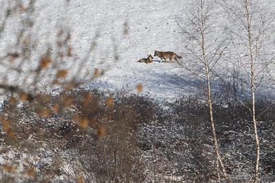 Wilki (Canis lupus) Bieszczady ©Mateusz Matysiak