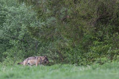 Wilk (Canis lupus) Bieszczady, maj 2018 ©Agata Katafiasz-Matysiak