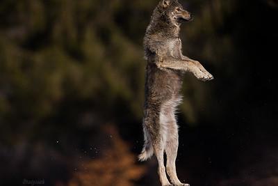 Wilk na trampolinie;)