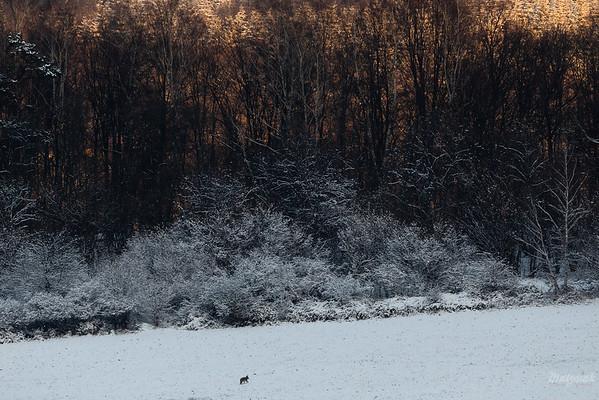 Wędrujący wilk (Canis lupus) Bieszczady ©Mateusz Matysiak