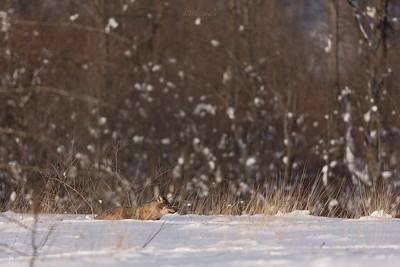 Śnieg na wilka głęboki