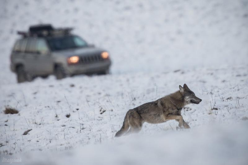 Jeden z wilków (Canis lupus) z watahy ściganej przez turystów jeepem<br /> 02.12.2018, Dolina Sanu, Bieszczady<br /> ©Mateusz Matysiak