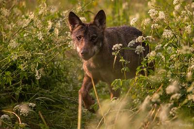 Wilk w stójce