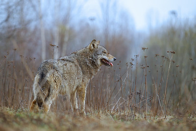 Wilki / Wolves