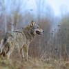 Kwietniowy wilk