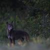 Czerwcowy wilk