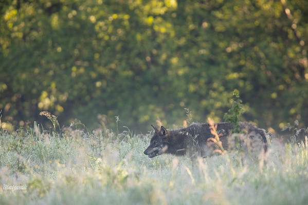 Wilk (Canis lupus) Bieszczady, czerwiec 2018 ©Mateusz Matysiak