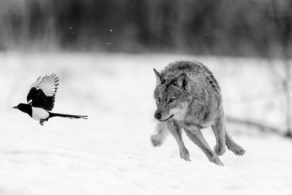 Pogoń wilka (Canis lupus) za sroką (Pica pica) podkradającą kęsy z wilczej zdobyczy Bieszczady ©Mateusz Matysiak
