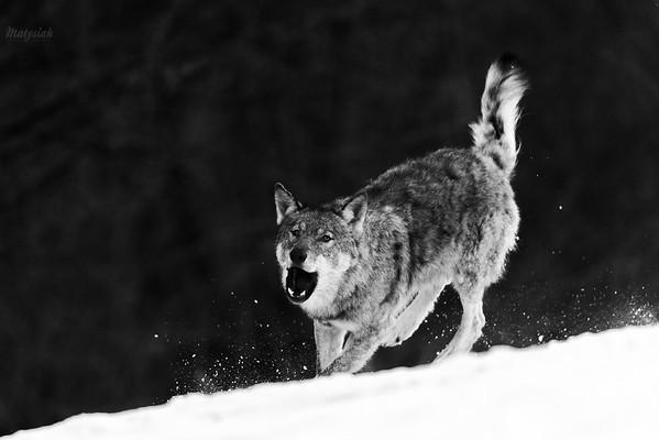 Wilk radosny