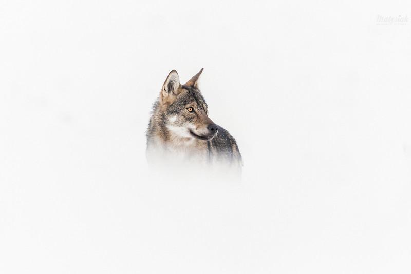 Wilk (Canis lupus)<br /> Bieszczady<br /> ©Mateusz Matysiak