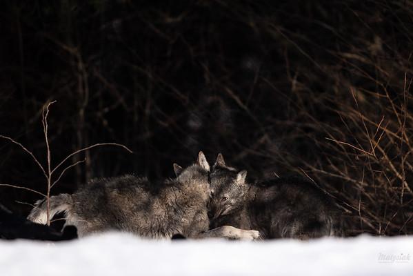 Wilki (Canis lupus) podczas zalotów w trakcie cieczki Bieszczady, luty 2017 ©Mateusz Matysiak
