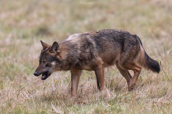 Wilk (Canis lupus) podchodzący do upolowanej zdobyczy, przy której żerują inne wilki Bieszczady ©Mateusz Matysiak