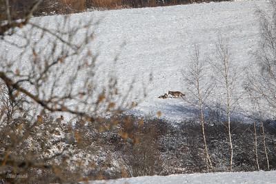 Wilki (Canis lupus) Dolina Sanu, Bieszczady ©Mateusz Matysiak