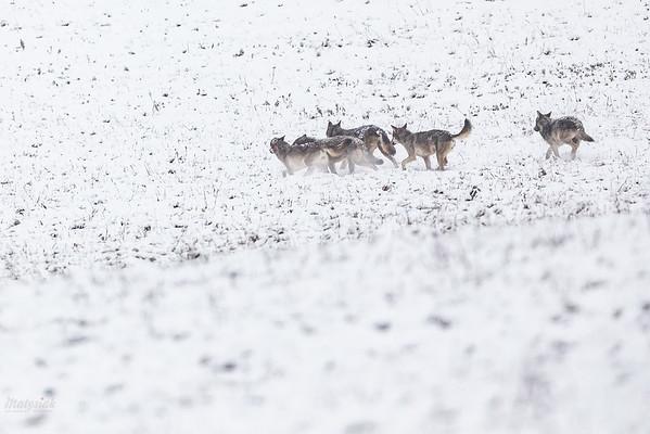 Wataha wilków (Canis lupus) Bieszczady ©Mateusz Matysiak
