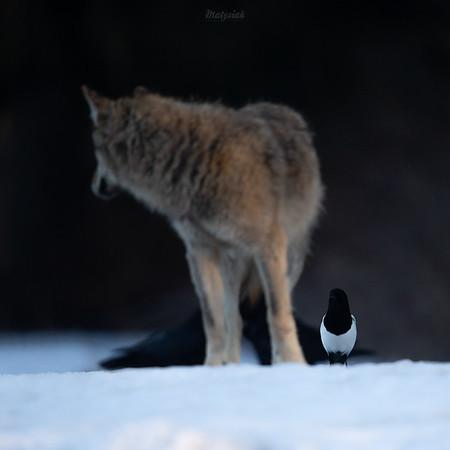 Wilk (Canis lupus) w towarzystwie kruków (Corvus corax) i sroki (Pica pica) Bieszczady ©Mateusz Matysiak