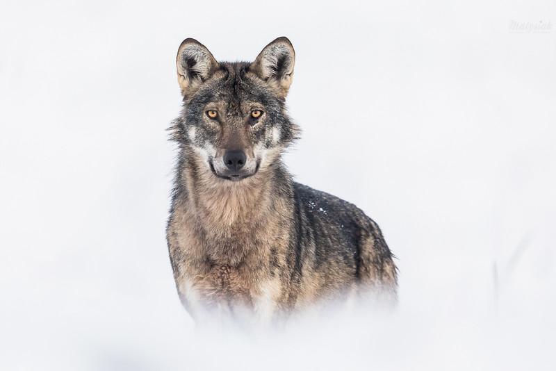 Wilk (Canis lupus) w śnieżnym anturażu<br /> Bieszczady<br /> ©Mateusz Matysiak
