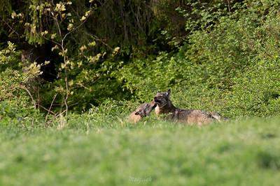 Wilki (Canis lupus). Powitanie wadery. Bieszczady, kwiecień 2018 ©Agata Katafiasz-Matysiak