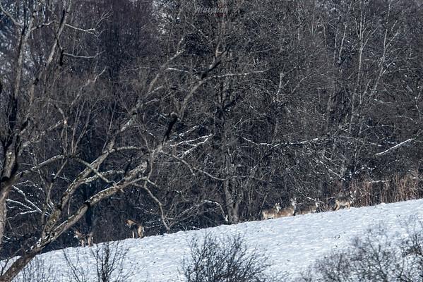 Wataha wilków (Canis lupus) lustrująca śródleśną dolinę Bieszczady ©Mateusz Matysiak