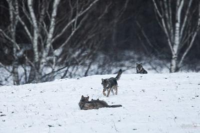 Wieczorne zabawy wilków (Canis lupus) Bieszczady ©Mateusz Matysiak