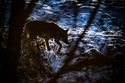 Podchody wilka (Canis lupus) na brzegu zarośniętego jaru Bieszczady ©Mateusz Matysiak