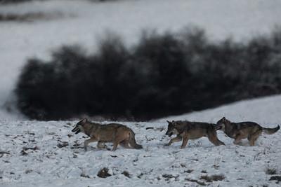Wieczorne zabawy i gonitwy wilków (Canis lupus) Bieszczady ©Mateusz Matysiak