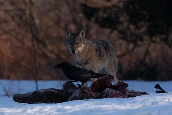 Kruk (Corvus corax) przy wilczej zdobyczy Bieszczady ©Mateusz Matysiak