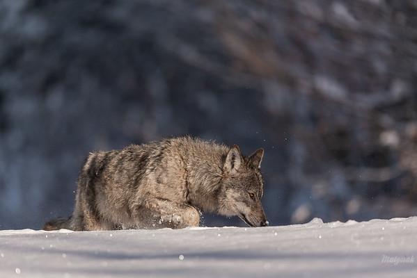 Wilk (Canis lupus) podczas zimowego tropienia ofiary Bieszczady ©Mateusz Matysiak