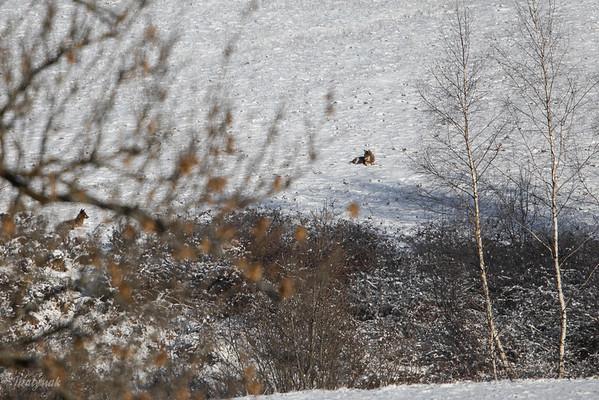 Wilki (Canis lupus) podczas sjesty Bieszczady ©Mateusz Matysiak
