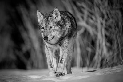 Podchody wilka (Canis lupus) Bieszczady ©Mateusz Matysiak