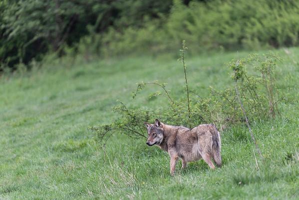 Dorosły wilk (Canis lupus) Bieszczady, maj 2018 ©Agata Katafiasz-Matysiak