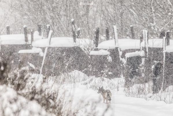 Wilk (Canis lupus) wędrujący stokówką przy wypale węgla drzewnego Bieszczady ©Mateusz Matysiak
