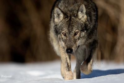 Wilk (Canis lupus) Bieszczady, luty 2017 ©Mateusz Matysiak