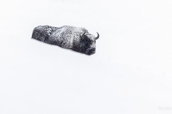Byk żubra (Bison bonasus) w śnieżycy Bieszczady ©Mateusz Matysiak