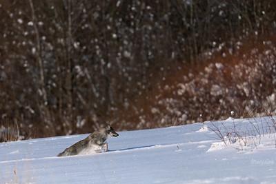 Śnieżny gon wilczym delfinem