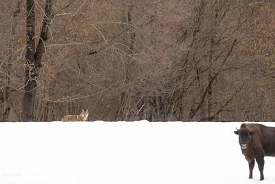 Podchody wilków (Canis lupus) do żubrów (Bison bonasus) Bieszczady ©Mateusz Matysiak