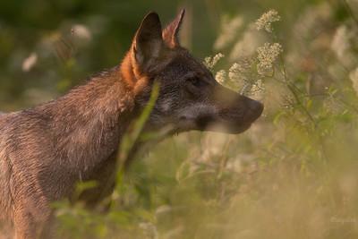 Czujny wilk (Canis lupus) ©Mateusz Matysiak