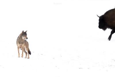 Wilk i pół żubra