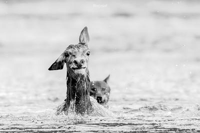 Polowanie wilków (Canis lupus) na łanię jelenia szlachetnego (Cervus elaphus) Bieszczady ©Mateusz Matysiak